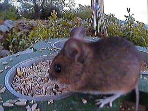 Wood Mouse visits hedgecam