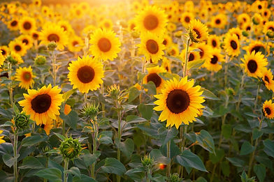 sunflower-3550693_1920.jpg