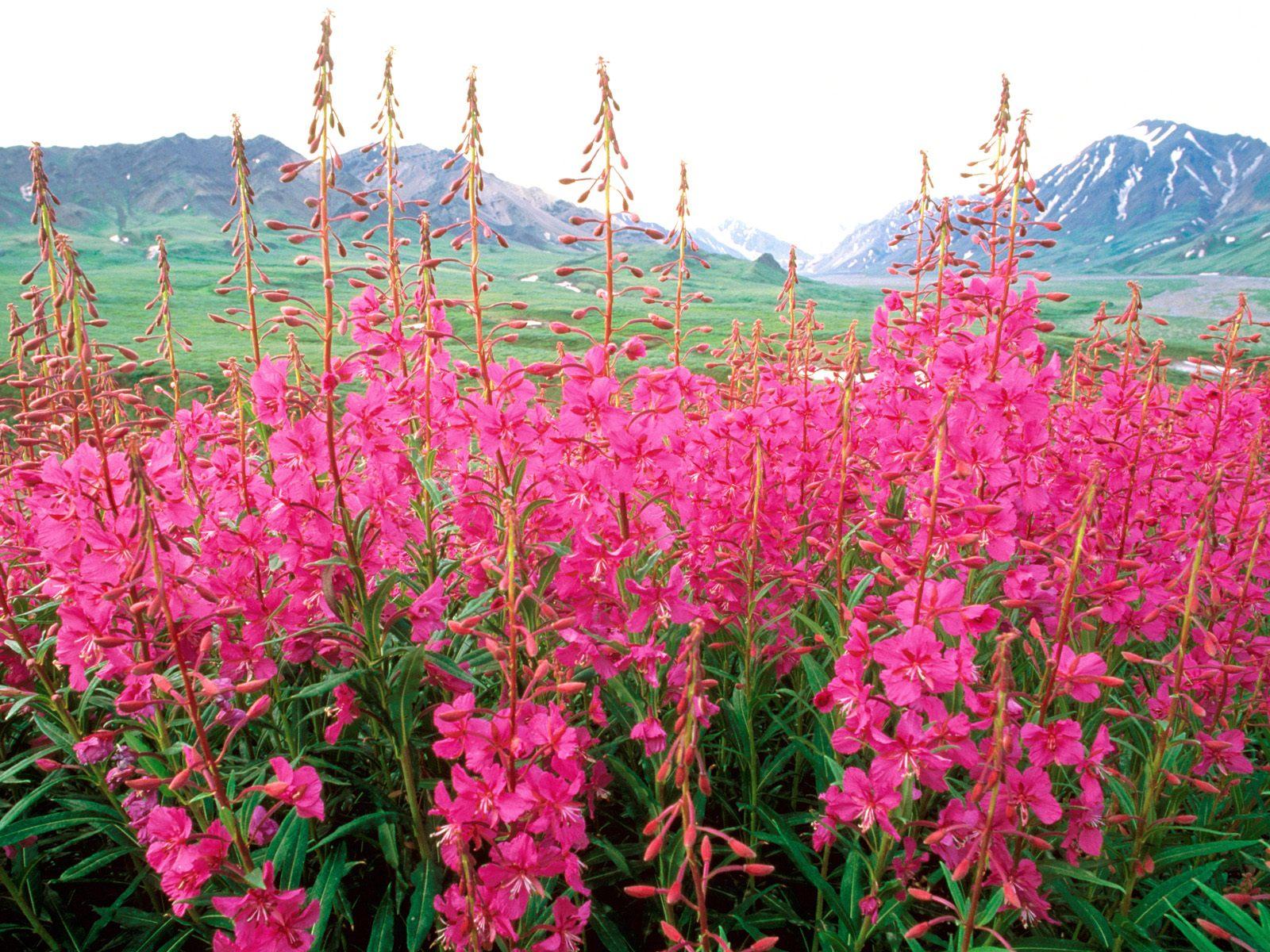fireweed-alaska