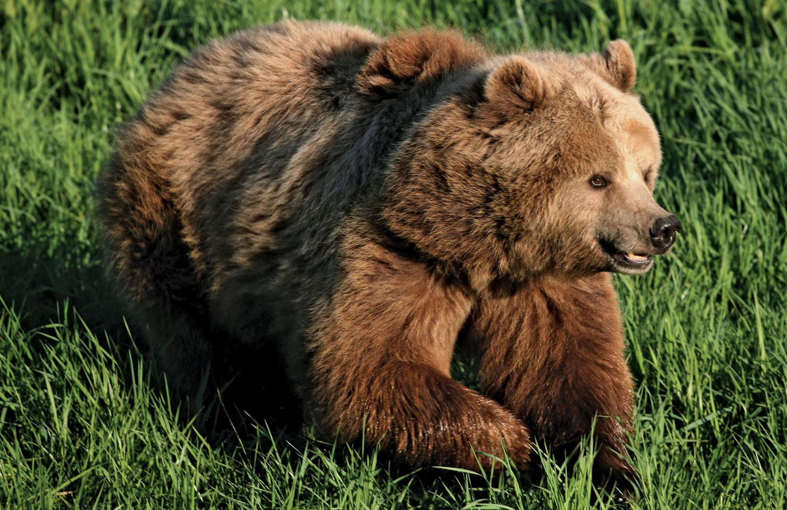 brown-bear1