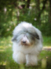mioritic, owczarek rumuński, ciobanesc romanesc mioritic, zwycięzca świata, hodowla, szczenięta, puppies, welpen, kennel, zucht, Collis Amores, Bogat