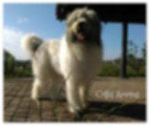 de pont euxin, worl winner, puppies, kennel, hodowla, zucht, collis amores, mioritic, cibanesc omanesc, owcaek rumunski
