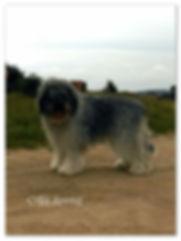 mioritic, szczenieta, hodowla, owczarek rumunski, zucht, kennel, puppies, welpen