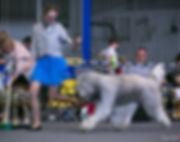 mioritic, owczarek rumuński, ciobanesc romanesc mioritic, zwycięzca świata, hodowla, szczenięta, puppies, welpen, kennel, zucht, Anemos