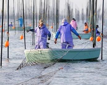 海苔の養殖.jpg