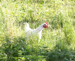 Huhn im Gras
