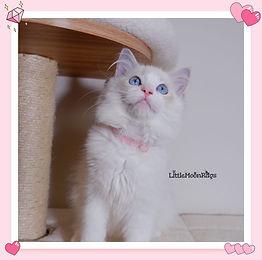 MoMo - Blue lynx bicolor.jpg