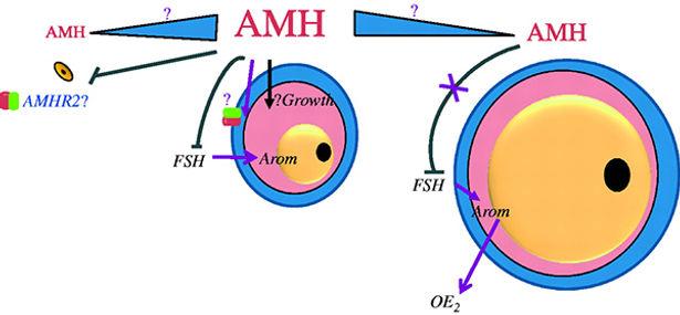 Anti-Mullerian Hormone AMH Test Unilab