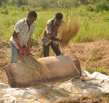 Manual Rice Threshing