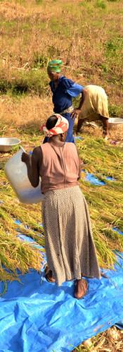 Drying Local Rice