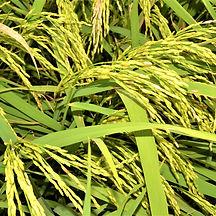 Green Rice Fields of Ho