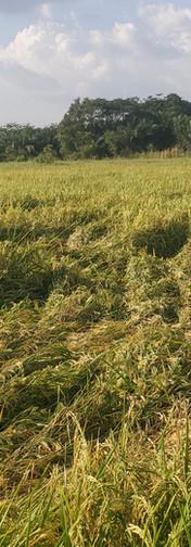 Elete Farmers Rice Fields