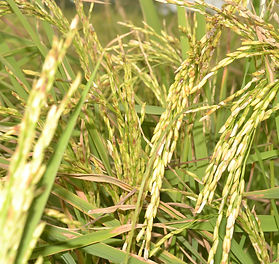 Golden Grains of Rice