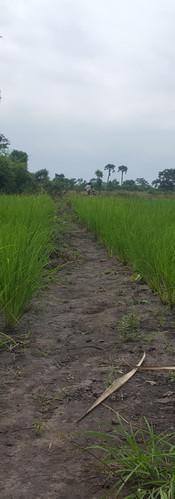 BCB's First Rice Field - Pilot 1