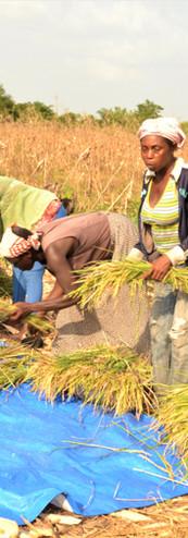 Rice Harvest - First Pilot