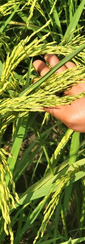 Partner Rice Fields
