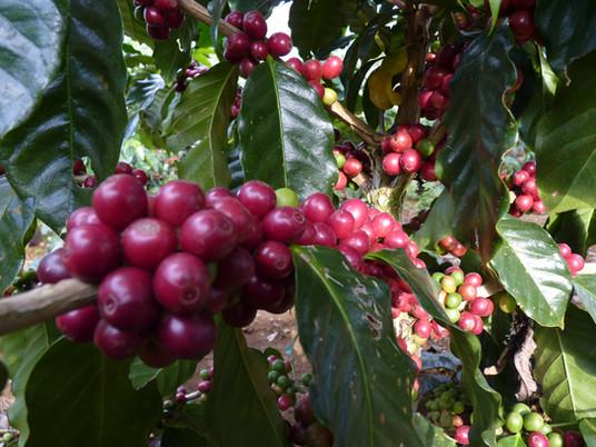 กาแฟสายพันธุ์ไหนดี?  Arabica / Robusta