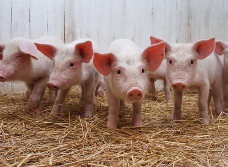 Aditivos en los piensos porcinos, una manera de mitigar la propagación de la PPA