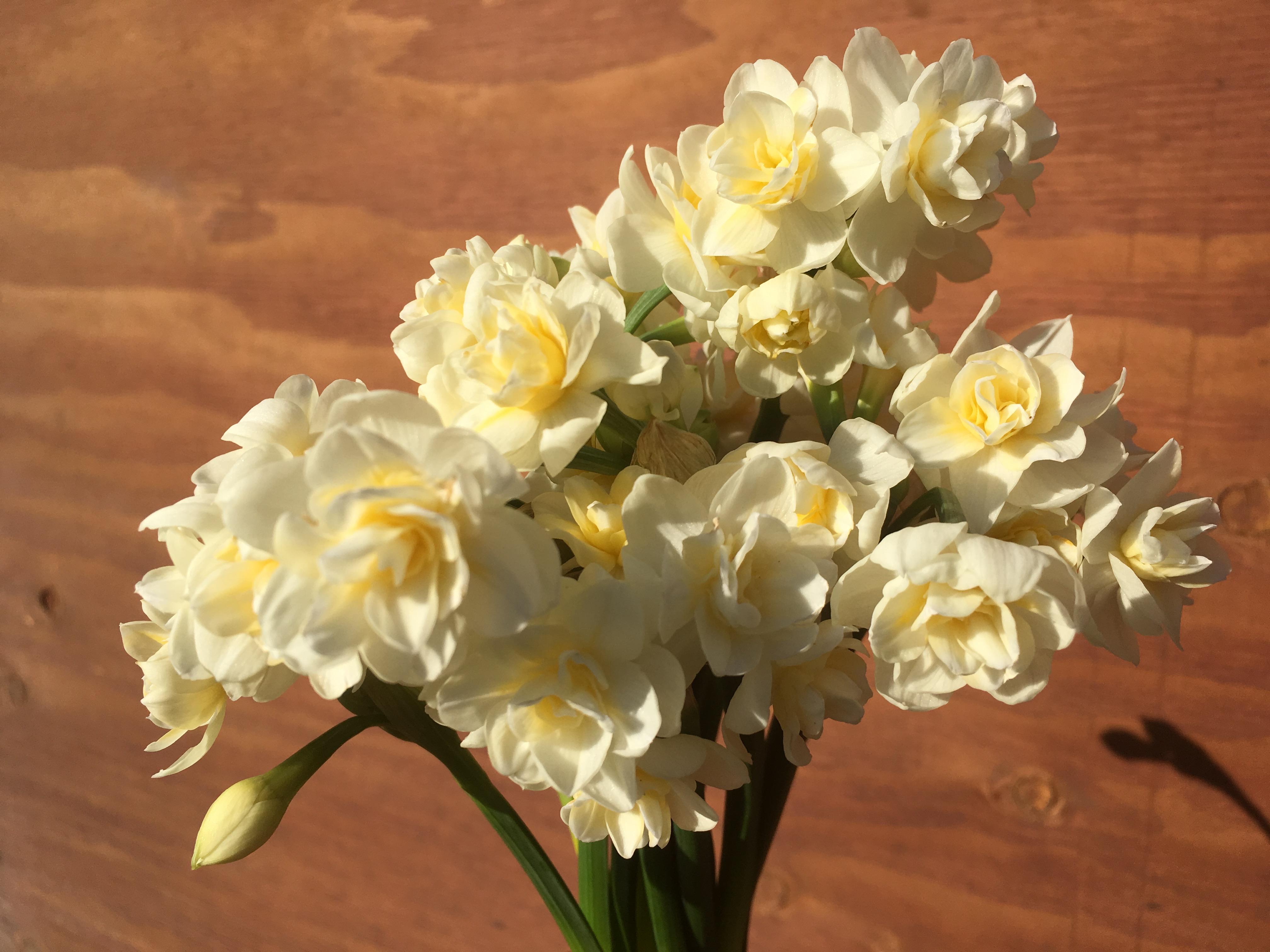Kokoro daffodils