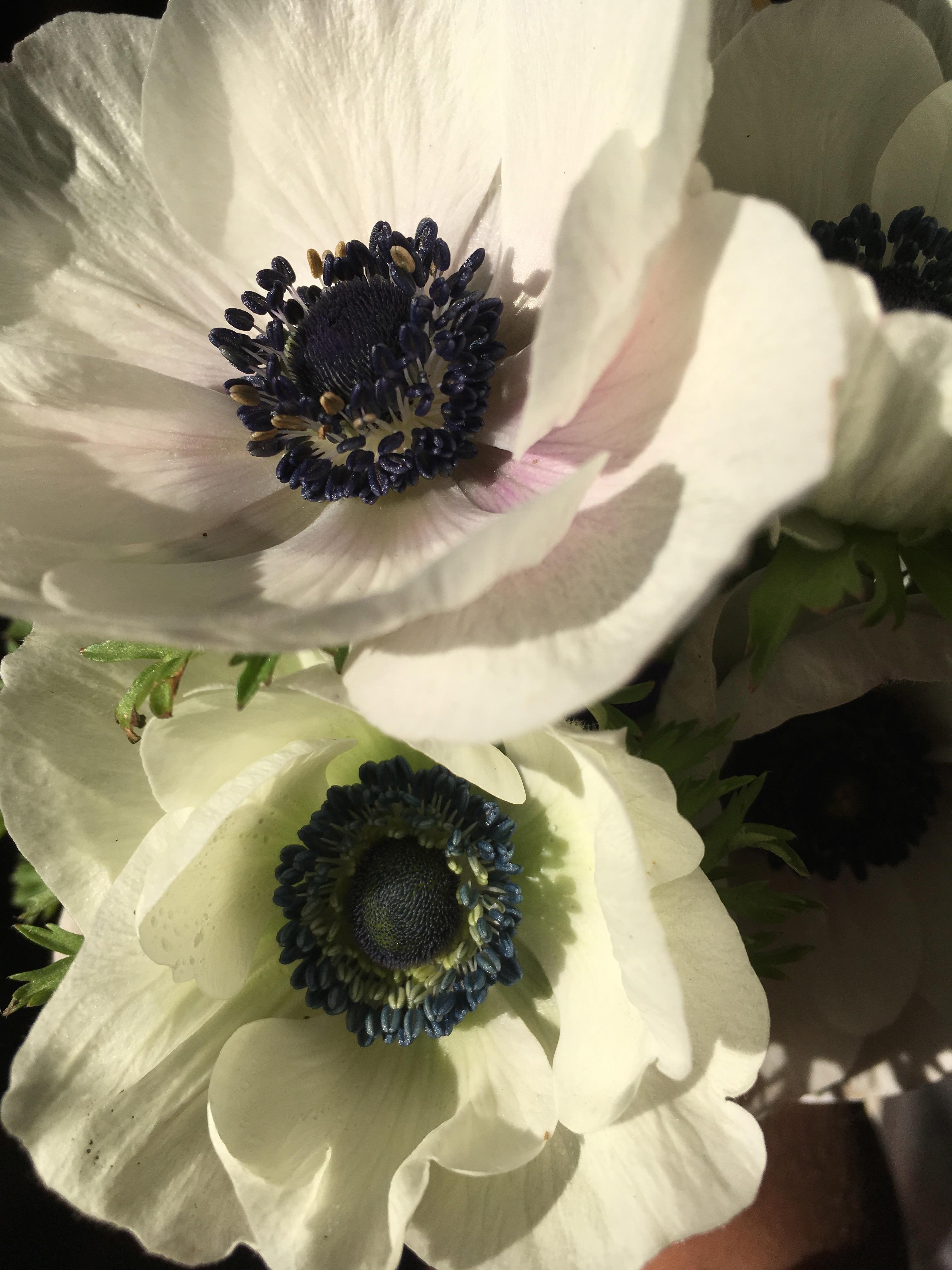 Kokoro anemone