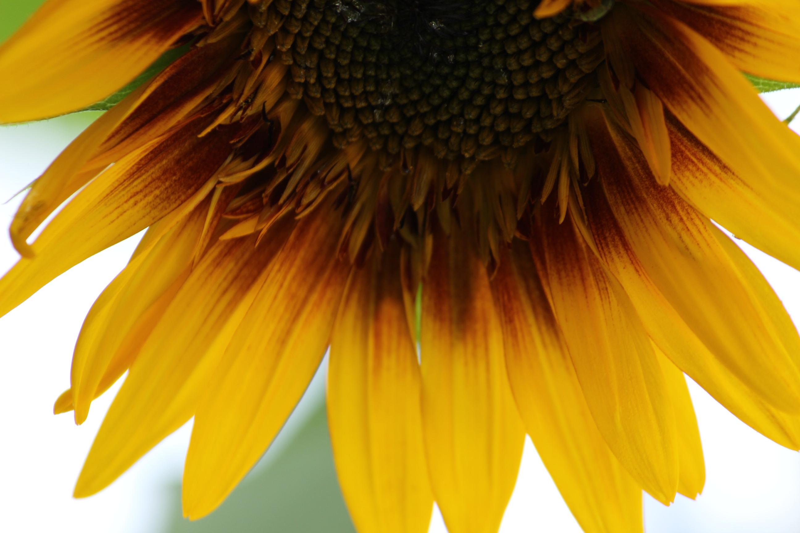 Kokoro sunflower