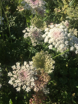 Kokoro field flowers