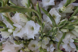 Kokoro gladiolus