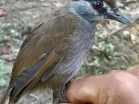 Encuentran en isla de Borneo, a un ave desaparecida hace 172 años