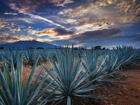 El Paisaje Agavero en Jalisco es Patrimonio de la Humanidad
