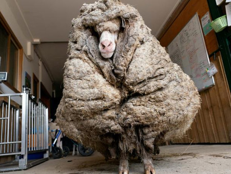 Oveja es encontrada vagando en bosque y con 35 kilos de lana