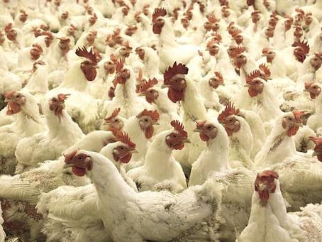 Naturaleza. La gripe aviar que 'sobrevuela' Europa