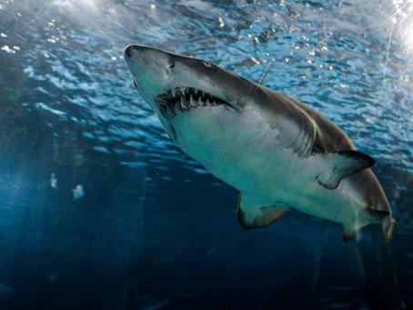 Deep Blue, así es el tiburón blanco más grande del mundo
