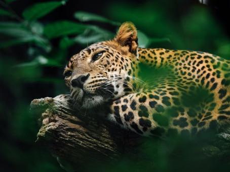 Abrirán un Santuario del Jaguar en Teotihuacán y esto es lo que sabemos