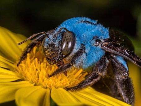 ¡Milagro de la naturaleza! Hallan abejas azules que se creían extintas