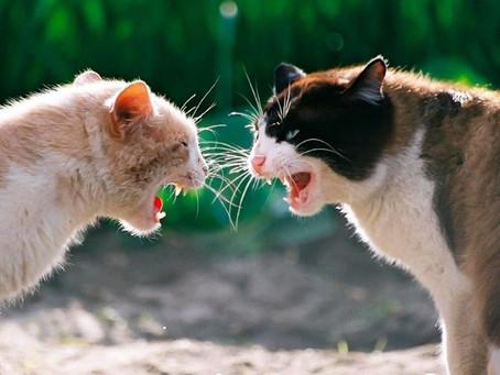 ¿Adoptaste otro Gato?, podría haber una pelea; te decimos cómo evitar los conflictos