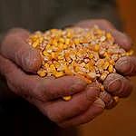 Celebramos el Decreto Presidencial que prohíbe el maíz transgénico y elimina el uso de glifosato