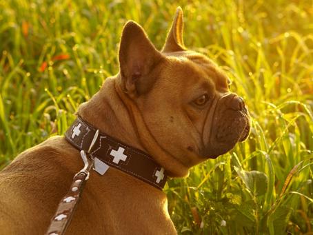 ¿Qué Datos debo poner en la placa de mi perro? Aquí la información esencial