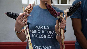 Profepa y Senasica deben actuar ante posible siembra de transgénicos en Campeche