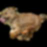 cairn terrier running