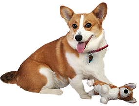 corgie with toy