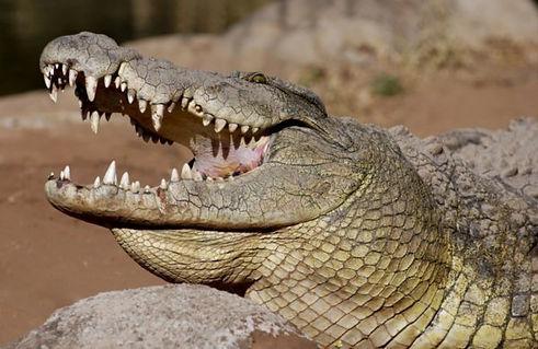 2141130-A-Crocodile-Smile-0.jpg