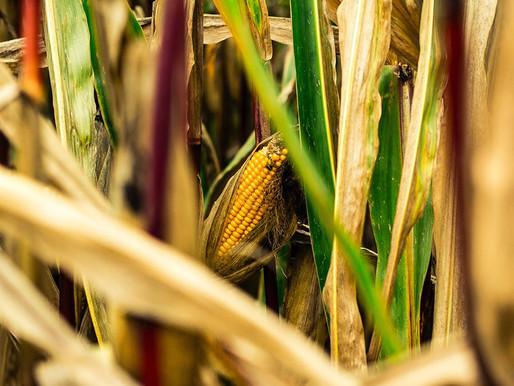 Novo método para extrair proteína do milho deve colocar mais bioplásticos no mercado