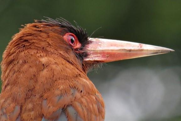 O sovela-vermelha também foi encontrado pelo grupo em Feijó, no alto Rio Jurupari (Foto: Tomaz Melo)