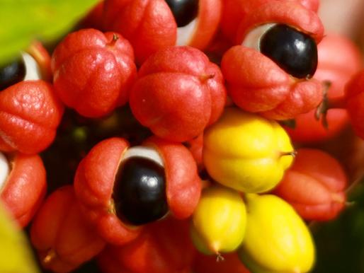 Testes in vitro indicam potencial do fruto do guaraná para ajudar no controle da diabete tipo 2