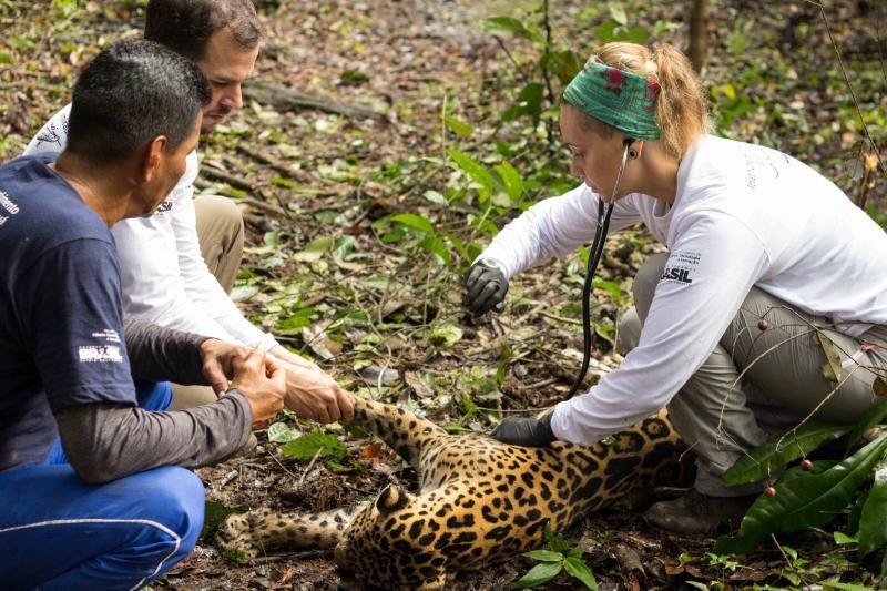 Pesquisadores do Instituto Mamirauá foram a campo em março e capturaram a Fofa, uma onça-pintada de 39 quilos e 1,68 metro. Em gestação, animal está em boas condições. Crédito: Divulgação / Instituto Mamirauá