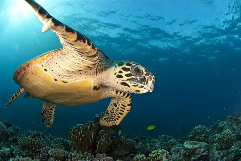 Tartaruga-de-pente é uma espécie ameaçada de extinção Divulgação/CNPq