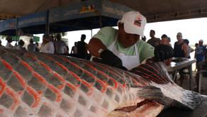 Em 2019, manejo de pirarucu teve aumento de 62% na produção de pescado