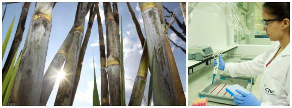 O novo Complexo de Laboratórios de Tecnologia, em Piracicaba (SP), que está sendo inaugurado nesta quarta-feira (14), é dedicado à busca por inovações em cana-de-açúcar. Foto: divulgação