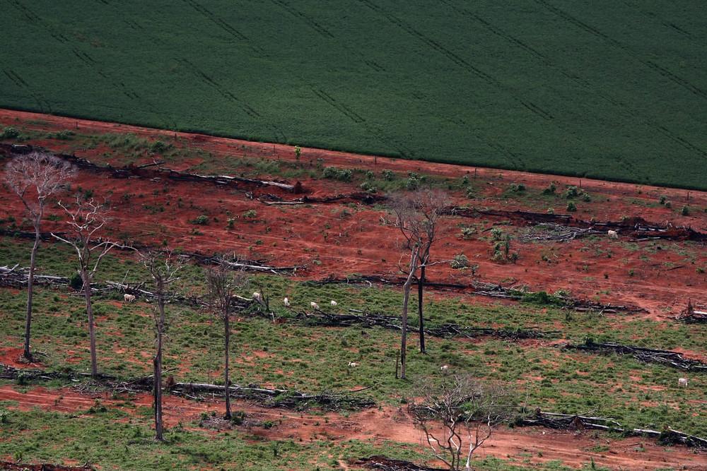 Ipiranga do Norte, MT- Gado em fragmentos floresta e áreas desmatadas com plantação de soja na Amazônia. (Foto: Alberto César Araújo/Amazônia Real)