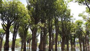 Alterações no regime de inundação ameaçam árvores centenárias da Amazônia
